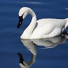Swan by jphphotography