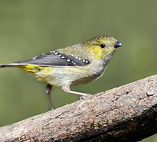 Forty Spotted Pardalote taken North Bruny Island in Tasmania - Photo 2. by Alwyn Simple