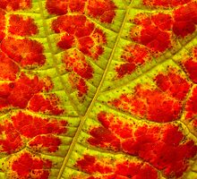autumn leaf abstract I by blackpool