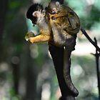 Squirrel Monkeys by Jessica Henderson