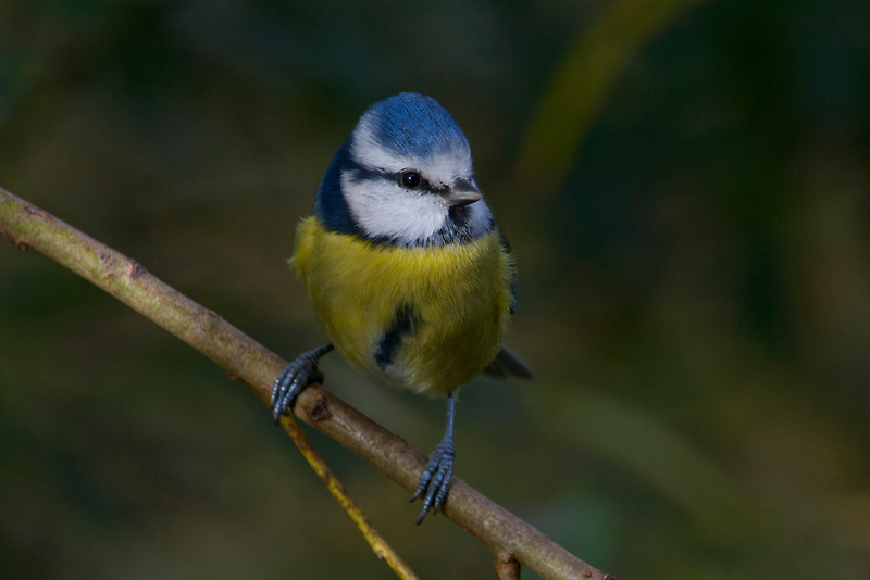 Blue Tit by Dave Godden