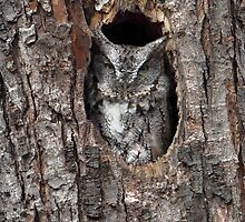Grey Morph / Screech Owl by Gary Fairhead