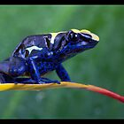 Blue dartfrog by AngiNelson