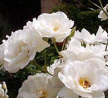 White Roses And A Bee 01 11 12 by Robert Phillips