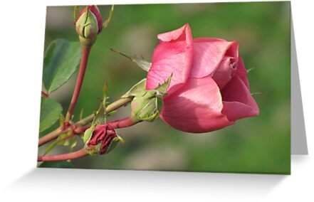 Autumnal Rose by orko
