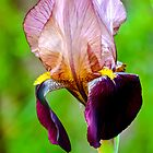 Bearded Iris by Alison Hill