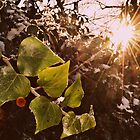 Sunlit Ivy by rebrebs