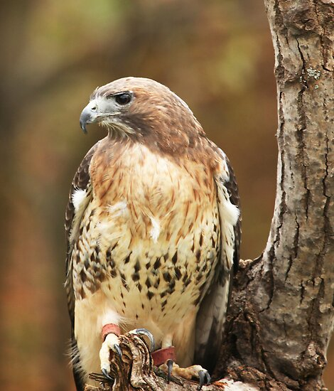 Broad Winged Hawk ~ by Renee Blake