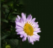 MICHAELMAS DAISY as iPhone Case by OlaG