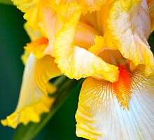 Golden Bearded Iris by Alison Hill