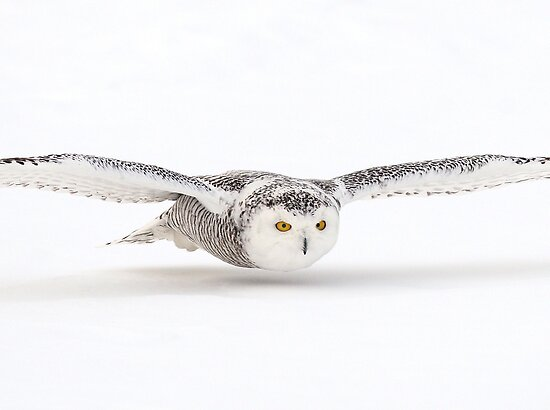 White Glide / Snowy Owl by Gary Fairhead