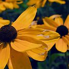 Black Eyed Susan Flowers by Ian MacQueen