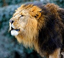 Male Asiatic Lion by Sheila Smith