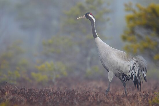 Common Crane by Remo Savisaar