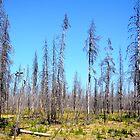Oregon Forest  by Michael McCann