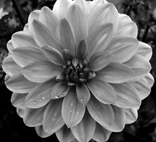 Black (and White) Dahlia by Jess Meacham