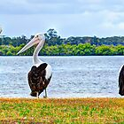 Three Pelicans by Cheryl Styles