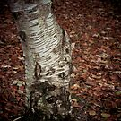 Birch In Autumn by Odd-Jeppesen