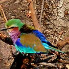 Young Lilac-Breasted Roller by Margaret  Hyde