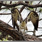Osprey Eyes by Mikell Herrick