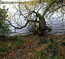 Tree, Green Lake, Seattle, Washington by Julie Van Tosh Photography