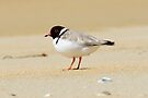 Hooded Plover taken at Dianas Beach near St Helens in Tasmania. by Alwyn Simple