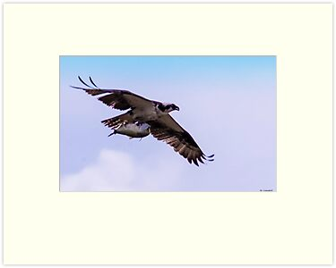 Osprey Fishing Again by Mary Campbell