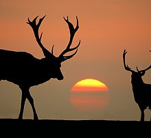 Sunset Stags by Steve Adams
