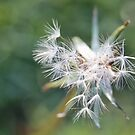 Dandelion Seed Macro by Astrid Ewing Photography