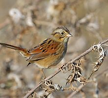 swamp sparrow by Christian Hunold