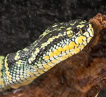 Pit viper in the rain by Angi Wallace