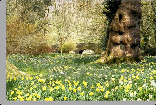 English spring daffodils by Daniel Loxley Warwood