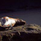 Seal on the rock by Sylwester Zacheja