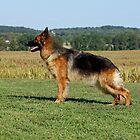 German Shepherds by Sandy Keeton