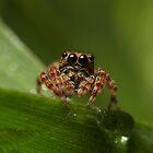 (Servaea vestita) Jumping Spider by Kerrod Sulter