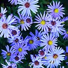 Blue Asters by Debbie Oppermann