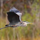 Great Blue Heron In Flight III by naturalnomad