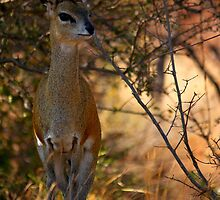 Klipspringer by PBreedveld