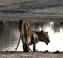 Starving Lioness by PBreedveld