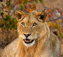 Male Lion by PBreedveld