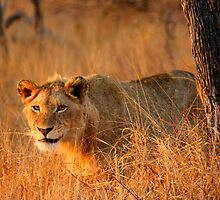 Male lion grin by PBreedveld