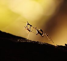 Preying Mantis by PBreedveld