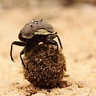 Dung beetle rolling ball by PBreedveld