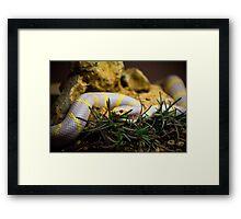 Albino King Snake Framed Print