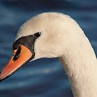 Mute Swan Portrait by Margaret S Sweeny