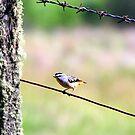 Spotted Pardalote by Asoka