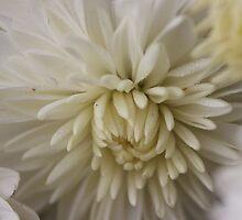 White Mum by aprilann