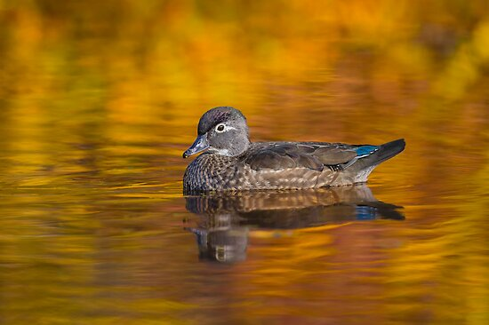 Fall Wood Duck by Daniel  Parent