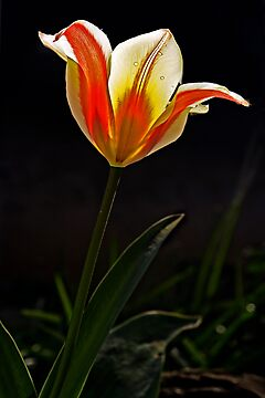 A single tulip in the garden by cclaude