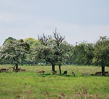 Deer in Bushy Park, London by Helen Greenwood